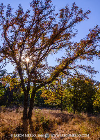 San Saba County, Texas Hill Country, Texas Cross Timbers, cedar elm, trees, Ulmus crassifolia, fall color