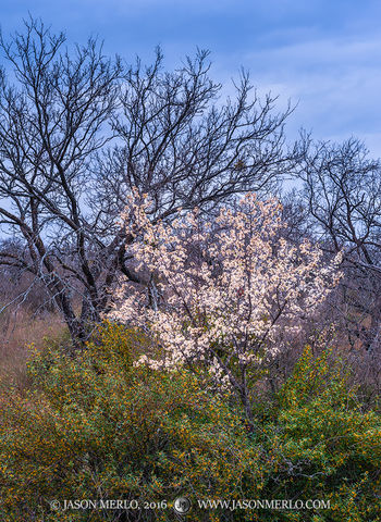 San Saba County, Texas Cross Timbers, Texas Hill Country, Mexican plum, tree, Prunus mexicana, agarita, Mahonia trifoliolata, bloom