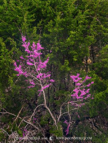 2016031201, Blooming Texas redbud on cedar