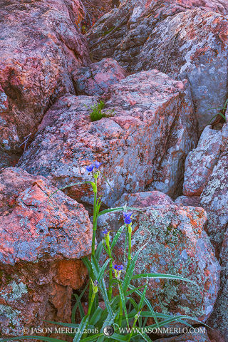 2016031303, Spiderwort growing among gneiss boulders
