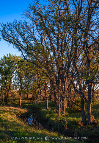 San Saba County, Texas Hill Country, Texas Cross Timbers, cedar elm, trees, Ulmus crassifolia
