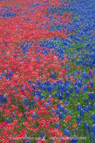 Llano County, Texas Hill Country, Texas bluebonnets, Lupinus texensis, wildflowers, Texas paintbrushes, Castilleja indivisa