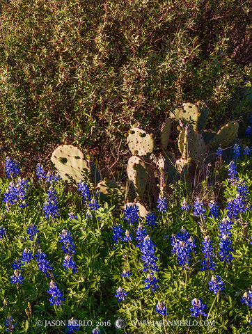 San Saba County, Texas Hill Country, Texas Cross Timbers, Texas bluebonnets, Lupinus texensis, prickly pear cactus, Opuntia engelmannii, agarita, Mahonia trifoliolata, wildflowers