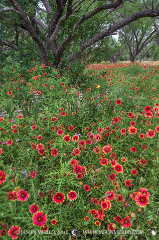 San Saba County, Texas Hill Country, Texas Cross Timbers, firewheels, Indian blankets, Gaillardia pulchella, wildflowers