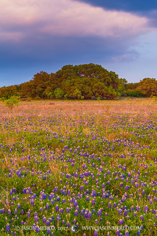 2017032705, Texas bluebonnets and oaks at sunset