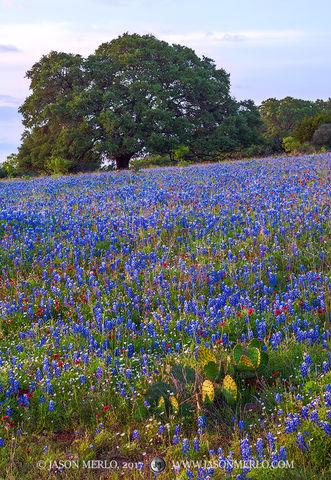 Mason County, Texas Hill Country, Texas bluebonnets, Lupinus texensis, prickly pear cactus, Opuntia engelmannii, live oak, tree, Quercus virginiana, firewheels, Gaillardia pulchella, wildflowers