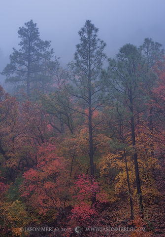 2017110805, Maples and pines in fog
