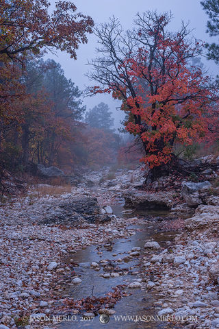 2017110807, Maples in fog on McKittrick Creek
