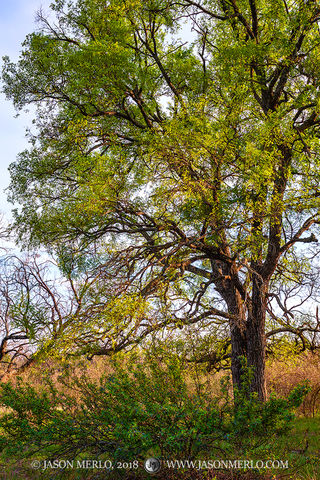 San Saba County, Texas Cross Timbers, Texas Hill Country, agarita, Mahonia trifoliolata, cedar elm, tree, Ulmus crassifolia