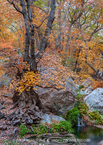 Guadalupe Mountains National Park, West Texas, Culberson County, Chihuahuan Desert, bigtooth maple, trees, Acer grandidentatum, Smith Spring, fall color