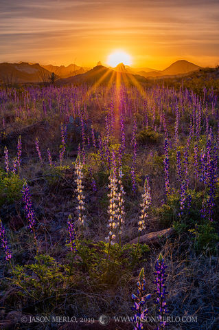 2019022502, Bluebonnets and the Chisos Mountains at sunrise