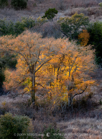 Balcones Canyonlands National Wildlife Refuge, Burnet County, Texas Hill Country, tree, fall color, cedar elm, Ulmus crassifolia