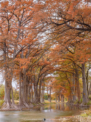 Kendall County, Texas Hill Country, Guadalupe River, Taxodium distichum, bald cypress, trees, fall, autumn, fall foliage