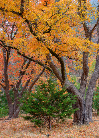 Texas Hill Country, Bandera County, autumn, fall, bigtooth maple, Acer grandidentatum, trees, cedar, Ashe juniper, Juniperus ashei