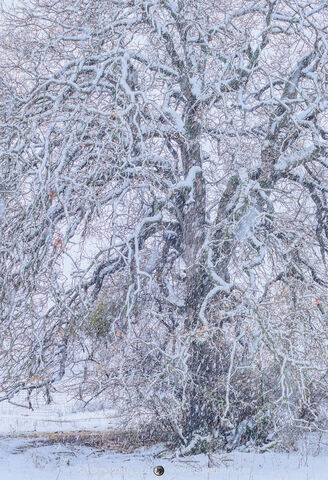 San Saba County, Texas Hill Country, Cross Timbers, winter, snow, blizzard, snowstorm, tree, post oak, Quercus stellata