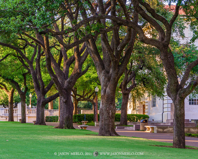Austin, University of Texas, campus, live oak, tree, Quercus virginiana, South Mall, Batts Hall, Six Pack