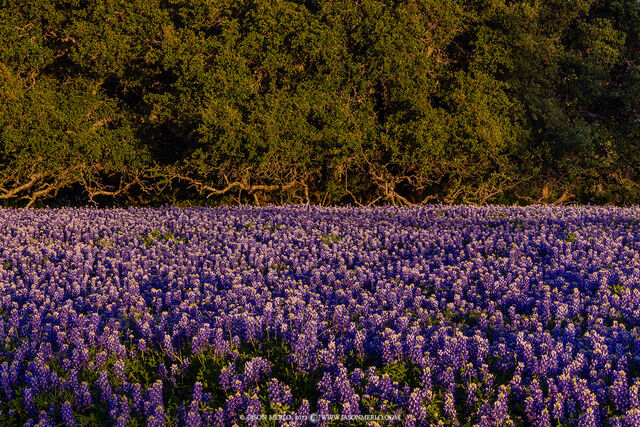 Llano County, Texas Hill Country, bluebonnets, Lupinus texensis, wildflowers, flowers, live oak, Quercus virginiana, trees