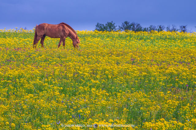 2014040103, Horse grazing in field of groundsel