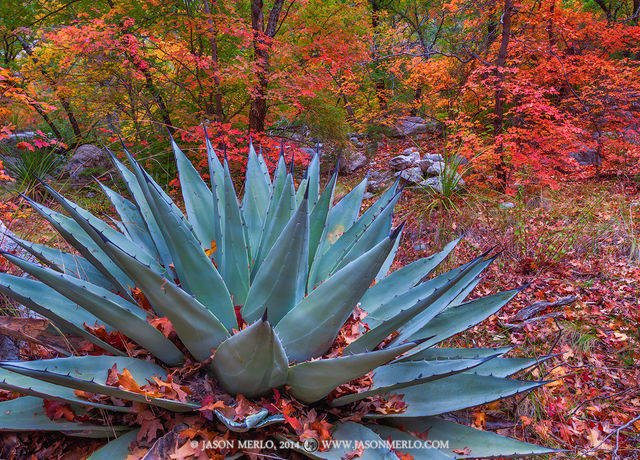 Guadalupe Mountains National Park, West Texas, Culberson County, Chihuahuan Desert, McKittrick Canyon, fall color, bigtooth maple, trees, Acer grandidentatum, agave, Agave havardiana