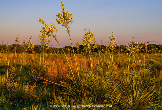 2015053101, Field of yucca in bloom