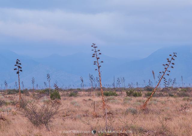 2016110801, Agave in a field beneath the Guadalupe Mountains