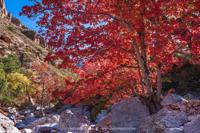 2016110806, Bigtooth maples in fall color