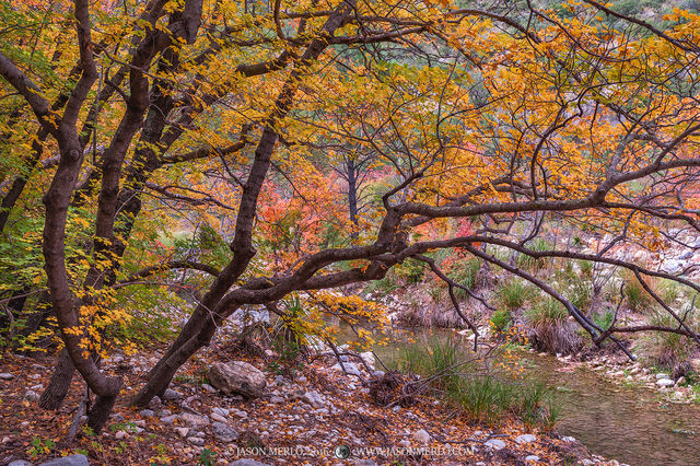 Guadalupe Mountains National Park, West Texas, Culberson County, Chihuahuan Desert, McKittrick Canyon, fall color, bigtooth maple, trees, Acer grandidentatum