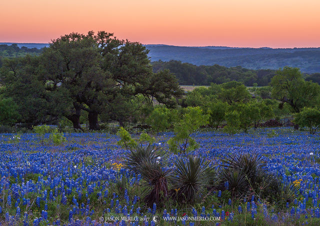 Mason County, Texas Hill Country, dusk, yucca, Yucca constricta, mesquite Prosopis glandulosa, live oak, trees, Quercus virginiana, Texas bluebonnets, Lupinus texensis, wildflowers