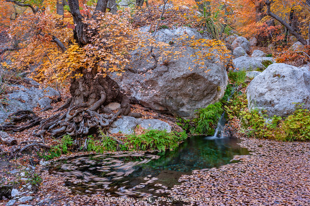 Guadalupe Mountains National Park, West Texas, Culberson County, Chihuahuan Desert, Smith Spring, bigtooth maple, trees, Acer grandidentatum, fall color