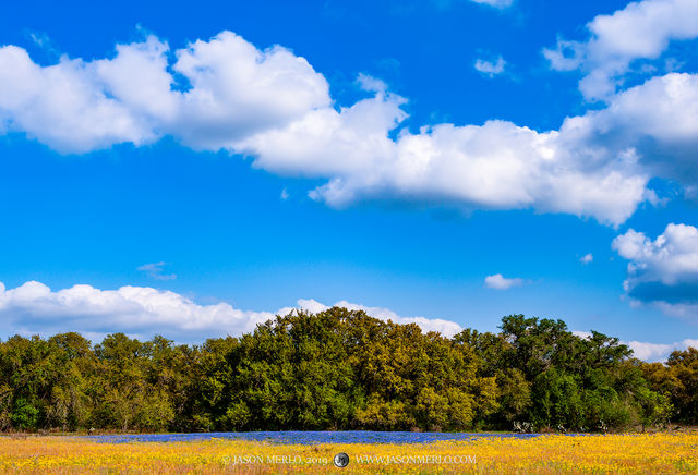 Atascosa County, South Texas, sandyland bluebonnet, Lupinus subcarnosus, wildflowers, Texas groundsel, Senecio ampullaceus, live oak, trees, Quercus virginiana, Poteet