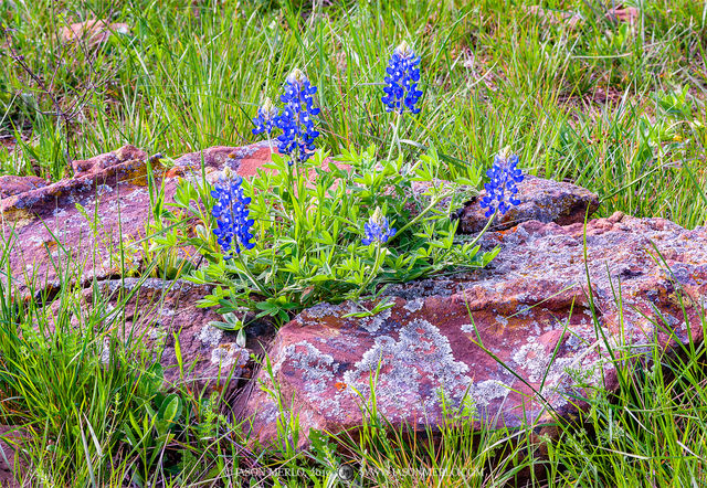San Saba County, Texas Cross Timbers, bluebonnet, Lupinus texensis, wildflowers, sandstone