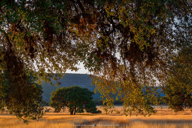 Real County, Texas Hill Country, River Region, autumn, fall, live oak, tree