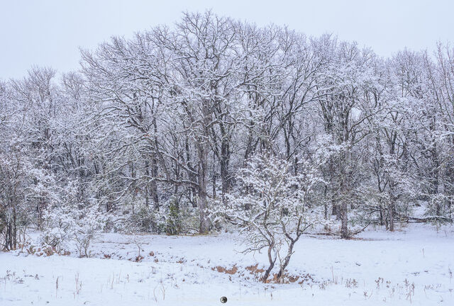 San Saba County, Texas Hill Country, Cross Timbers, winter, snow, trees, cedar elm, Ulmus crassifolia