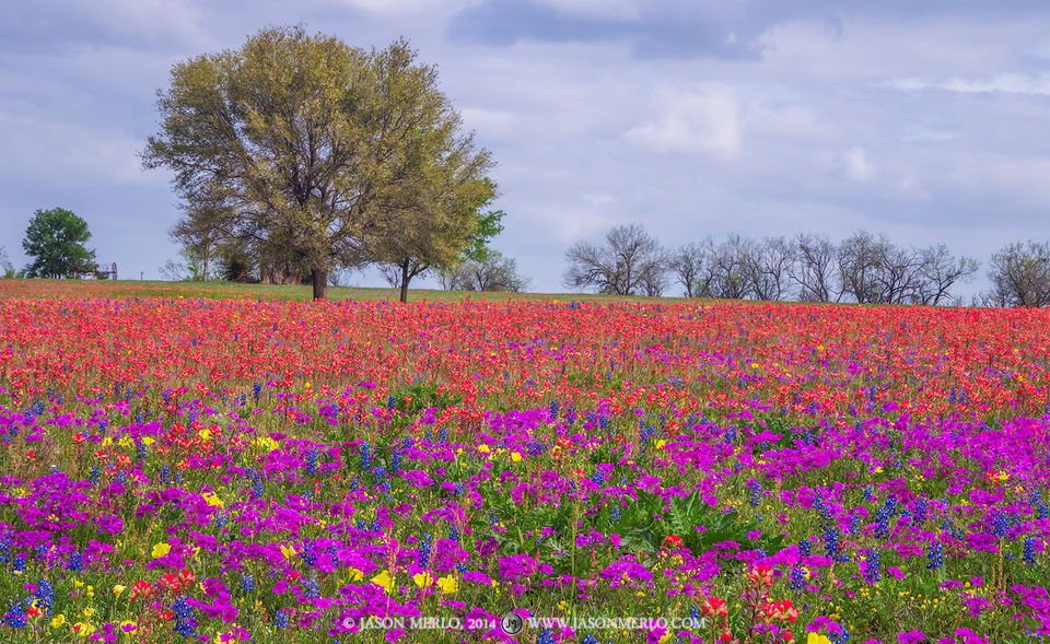 2014040102, Wildflowers and live oak