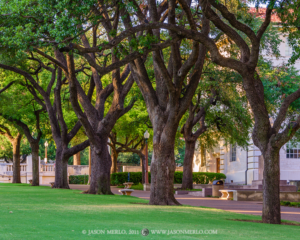 Austin, University of Texas, campus, live oak, tree, Quercus virginiana, South Mall, Batts Hall, Six Pack, photo