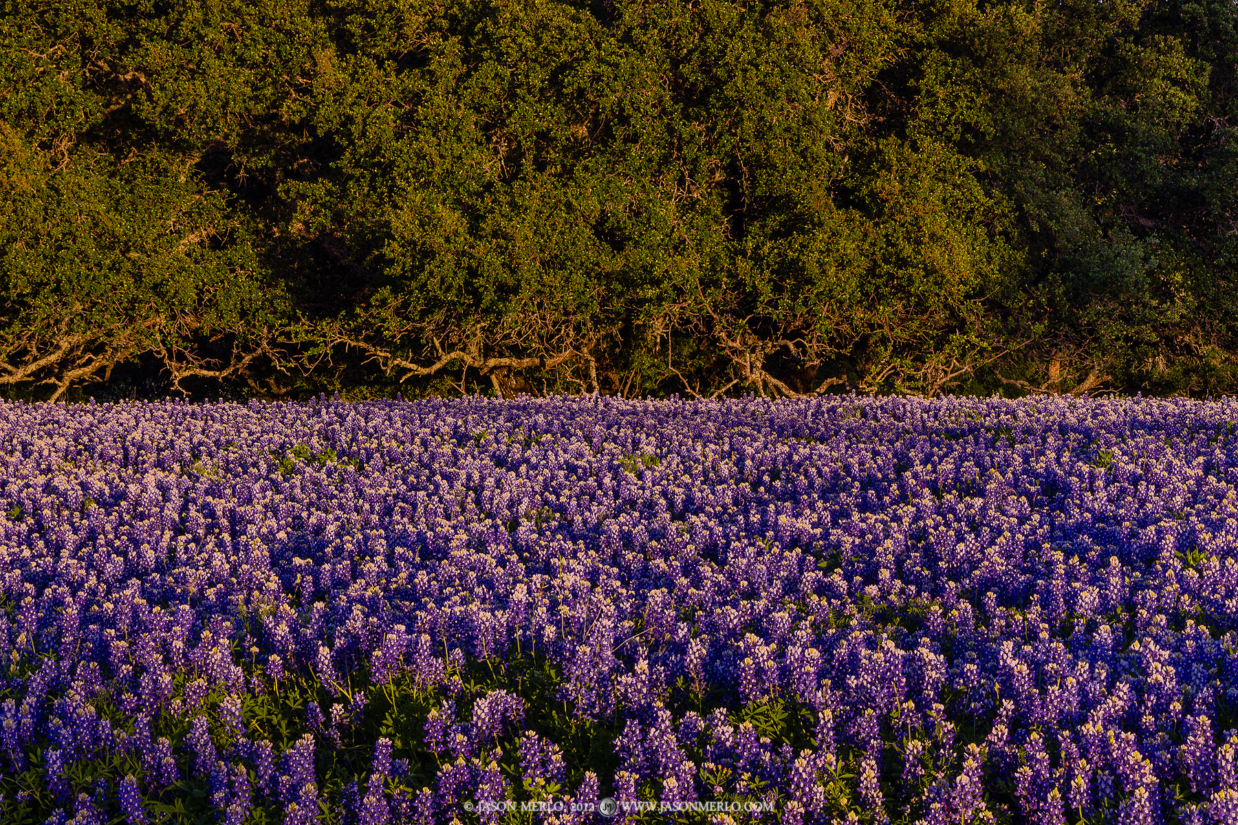 Live oak tree (Quercus virginiana) branches reach down and touch a field of Texas bluebonnets (Lupinus texensis) at sunset in...