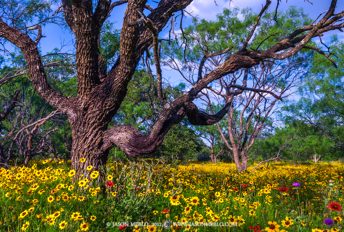 San Saba County, Texas Hill Country, Texas Cross Timbers, coreopsis, Coreopsis basalis, wildflowers, mesquite, tree, Prosopis glandulosa, photo