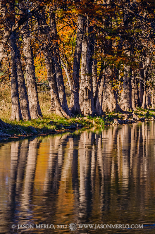 Real County, Texas Hill Country, East Frio River, autumn, fall, Taxodium distichum, cypress, tree, photo
