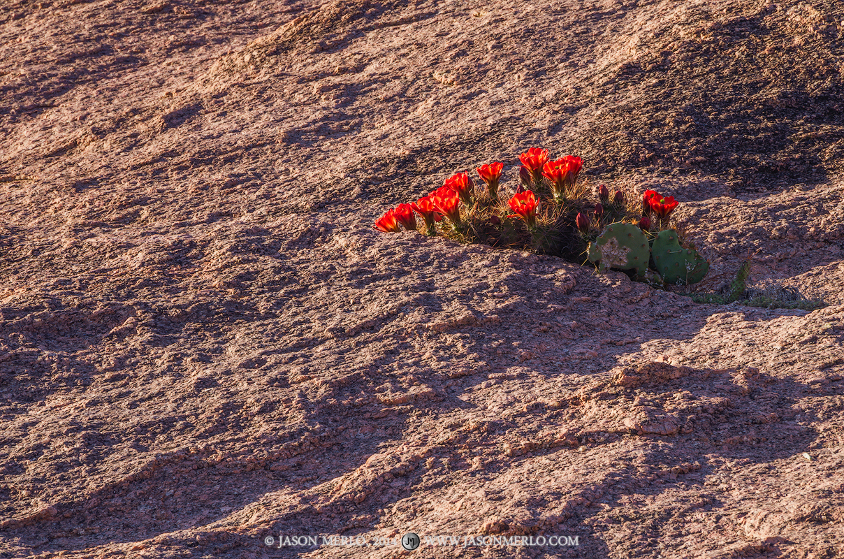 A blooming claret cup cactus (Echinocereus triglochidiatus) grows in an exfoliation crack on Buzzard's Roost at Enchanted Rock...