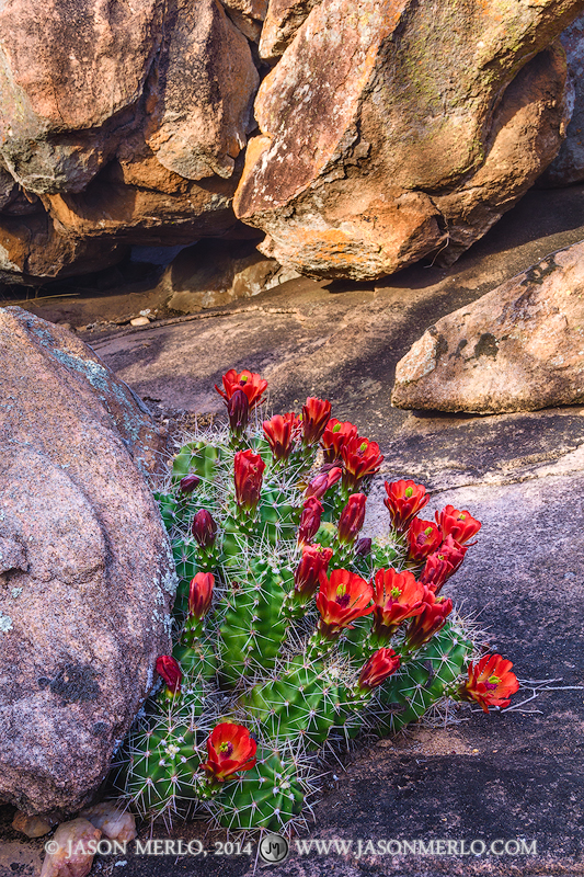 A claret cup cactus (Echinocereus triglochidiatus)in bloom among boulders at Inks Lake State Park in Burnet County in the...