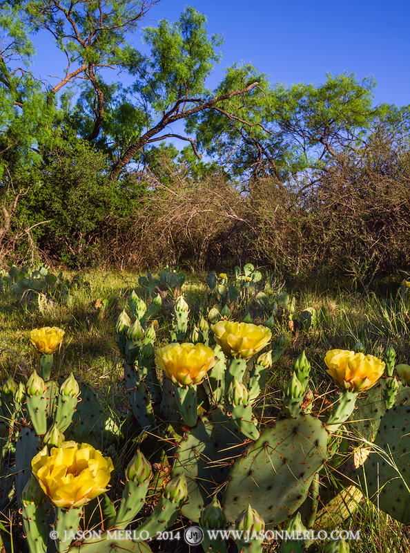 San Saba County, Texas Cross Timbers, Texas Hill Country, prickly pear cactus, Opuntia engelmannii, bloom, photo