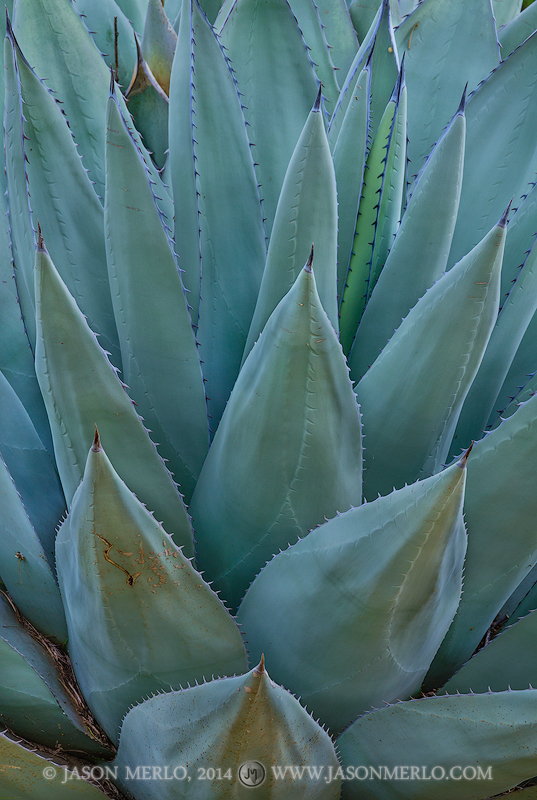 San Saba County, Texas Hill Country, Texas Cross Timbers, agave, Agave havardiana, photo