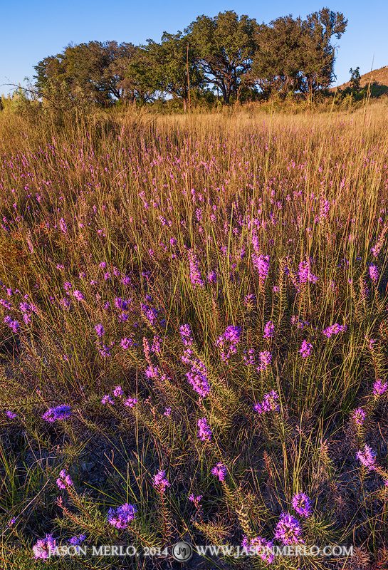 Balcones Canyonlands National Wildlife Refuge, Doeskin Ranch, Burnet County, gayfeather, Liatris mucronata, Texas Hill Country, photo