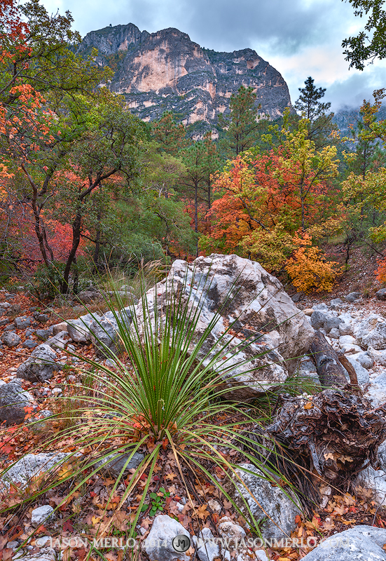 Sotol (Dasylirion texanum)growing near a boulder and bigtooth maple trees (Acer grandidentatum)in fall color under...