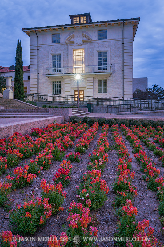 Snapdragons and Benedict Hall at sunrise at the University of Texas in Austin, Texas.