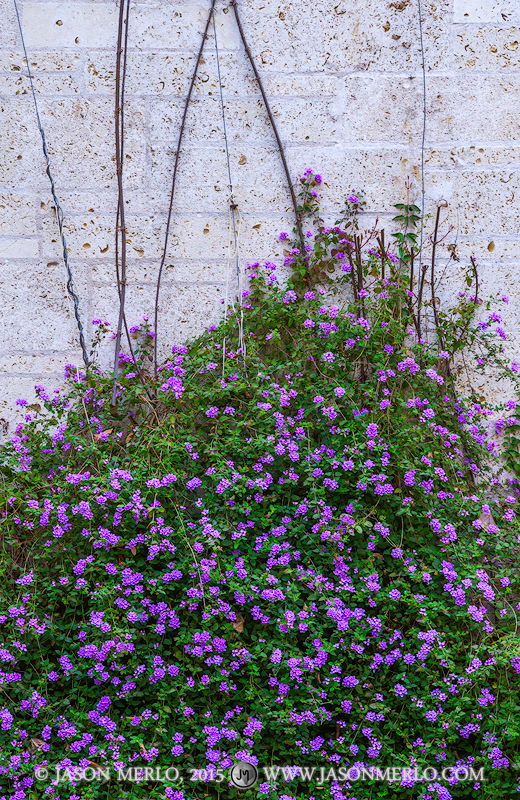 Austin, University of Texas, campus, lantana, flowers, Goldsmith Hall, courtyard, photo