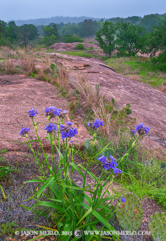 Enchanted Rock State Natural Area, state park, Texas Hill Country, Llano, Fredericksburg, Llano County, Gillespie County, Llano Uplift, giant spiderwort, Tradescantia gigantea Rose, wildflowers, photo