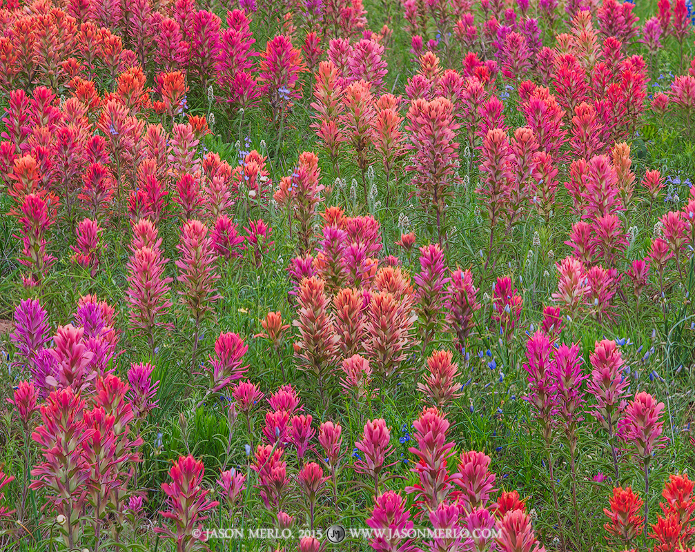 Texas Hill Country, Mason County, Gillespie County, Llano Uplift, prairie paintbrushes, Castilleja purpurea, wildflowers, photo