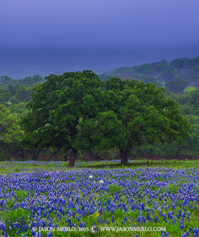 A field of Texas bluebonnets (Lupinus texensis) and live oak trees (Quercus virginiana) under a layer of fog in...