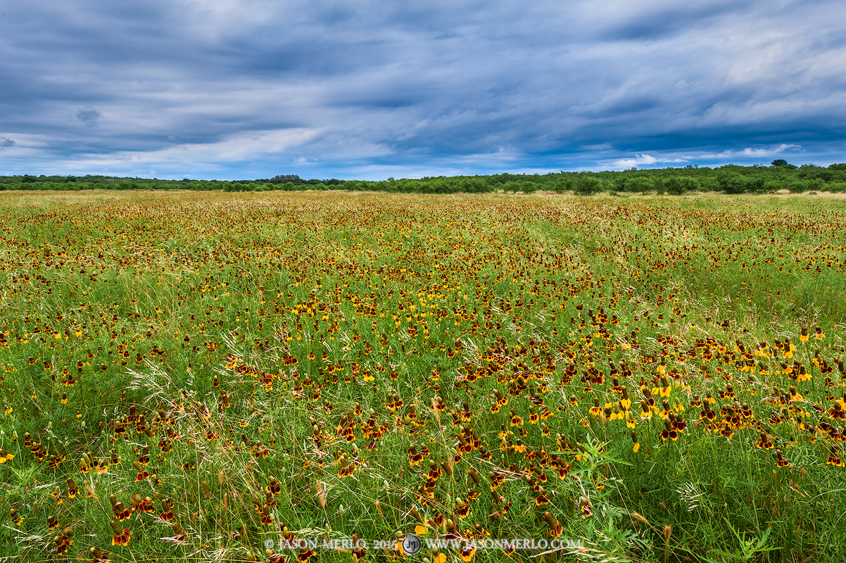 San Saba County, Texas Cross Timbers, Texas Hill Country, mexican hats, Ratibida columnifera, wildflowers, photo